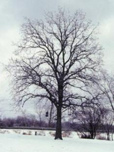 Winter Oak - Canada