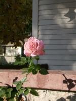 chicago-peace-rose-10-21-072.jpg